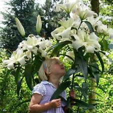 3 Pretty Woman Tree Like Lily Lilies White Skyscraper Fragrant Summer Bulbs