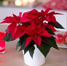 200Pcs Red Poinsettia Euphorbia Fresh Seeds Flowers Perennial Winter Home Garden