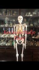 SOMSO Human Male Skeleton Medical Skull Anatomy Model Modelle Skelet Bone Crâne