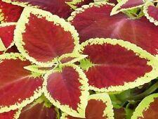 200 Seeds Coleus Seeds Jazz Scarlet Plant Seeds BULK SEEDS