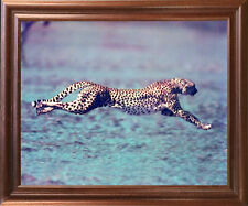 "Running Cheetah ""Spotted Wind"" Wildlife Animal Wall Art Mahogany Framed Picture"