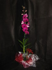 1 Budded/Blooming Dendrobium Orchid With CHRISTMAS DECOR- X-MAS GIFT OF ALOHA!