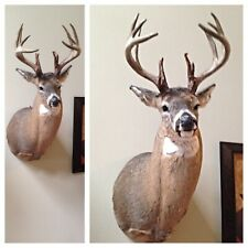 New ListingMounted Deer/Buck -Shoulder Mount 16 Point Real White Tail Ky Deer