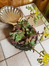 lot de 4 plants de Echeveria Succulentes, Cactus - plante grasse facile