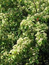 Cotoneaster arbustif x2 petits plants