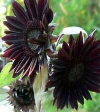 25 Velvet Queen Black Sunflower Seeds Flowers Seed Flower Perennial Bloom 1082
