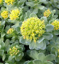 500 graines Rhodiola Rosea rares précieux Rosenwurz