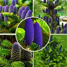 New listing 50 pcs Purple Korean Fir Seed Garden Rare Tree Seeds Garden Home Planting Bonsai