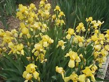 Small old fashioned yellow Iris Tall Bearded 20 plant