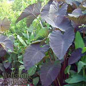 Black Magic Elephant Ear Live Plant - Colocasia esculenta