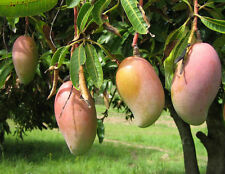 LIVE (SUNDARI MANGO) SWEET FRUIT - 1 GRAFTED HEALTHY PLANT - PACK IN 1 POT