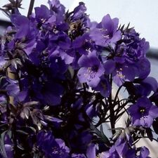 40+ PURPLE RAIN POLEMONIUM JACOB'S LADDER FLOWER SEEDS / SHADE LOVING PERENNIAL