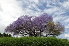 Brazilian Jacaranda Tree Seeds Here For You!