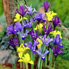 15 MIX MIXED COLOUR DUTCH IRIS SPRING GARDEN BULB CORM 4 SUMMER BEAUTIFUL FLOWER