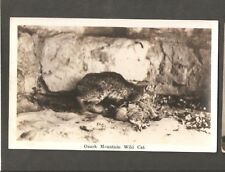VINTAGE POSTCARD OZARK MOUNTAIN WILD CAT EATING KILLING PREY DEAD BIRD? RPPC