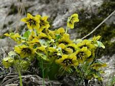 Mandragora caulescens, Himalaya Alraune, 5 Samen, Selten !