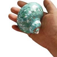 9-12cm Green Turbo Natural Rare Real Sea Shell Conch Home Decor Ocean Heali U6M1