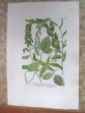 "Vintage Engraving,POTAMOGETON FOLUS,C.1740,WEINMANN,Botanical,20x13.5"",Mezzotint"