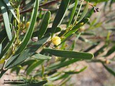 Acacia cyclops (10 seeds)