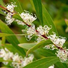 HAKEA salicifolia Seeds (E 108)