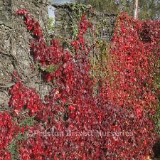 Boston Ivy Parthenocissus Lowii Climbing Plant x 3