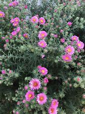 200 Graines D'aster rose Fleur Vivace (bio)