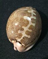 Molluscum CYPRAEIDAE  LEPORICYPRAEA MAPPA  Distribution (Okinawa) 75.5mm