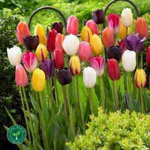 10 seeds of Tulip Mix - TULIPA + GIFT 5 seeds of Sunflower