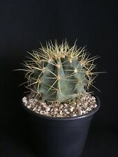 Ferocactus glaucescens Blue Barrel Cactus