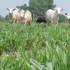 Hybrid Pearl Millet Seeds (Tifleaf 3) - 50 Lbs.
