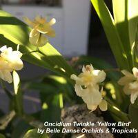 Y735 Oncidium Twinkle 'Yellow Bird' 2 3/4'' Pot Mini Frag T583