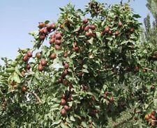 Ziziphus jujuba JUJUBE Fruit Tree Seeds!