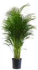 Palm In Pot, Houseplants Patio Decks Garden Lawn Indoor Decor Office Home NEW