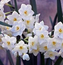 Narcissus 5 Bulbs - Indoor/ outdoor Very Fragrant bulbs