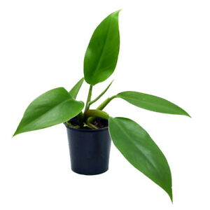 """Imperial Green Philodendron - Easy to Grow - 4"""" Pot - Collector's Series"""
