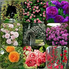 9 DIFFERENT TYPES RARE CLIMBING ROSE SEEDS 10 SEEDS EACH (TOTAL 90 SEEDS)