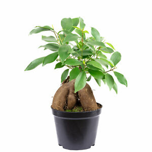 Chinesische Feige - Ficus Ginseng - Höhe ca. 25 cm, Topf-Ø 12 cm