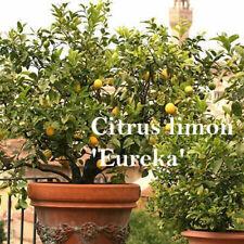 Edible Lemon Tree Eureka Citrus Ornamental Outdoor Flowering Plant Evergreen 5L