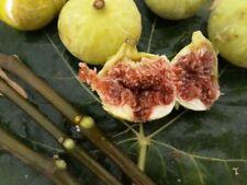 Fig tree unkn. variety - 3 cuttings- Sintra , Portugal