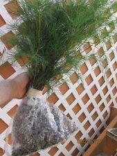 QTY-15 WHITE PINE TREE STARTER SEEDLINGS 22 INCH TALL REF#STX1