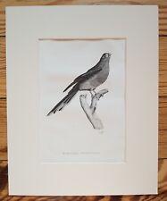 Tropical Bird (Nanodes), 1826 ORIGINAL PRINT, Antique ENGRAVING, Matted 8X10