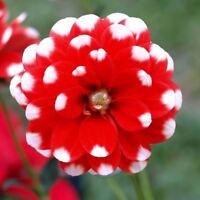 100 pcs Rare Red Dahlia Perennial Flower Seeds Bonsai Flowers Perennial Plant