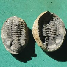 Trilobite Fossil Eldredgeia venustus Devonian Bolivia Genuine Trilobite Fossils