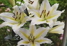 Guiding Light Asiatic Lily (3 bulbs) Pots and Planters,Cut Flowers. Perennial