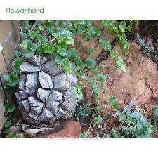 5pcs SEEDS Genuine Dioscorea Elephantipes Bonsai DIY Plant Caudex Succulent