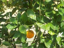 100% Naturreines Ätherisches ORANGENÖL süß (Citrus sinensis), Italien,10 ml