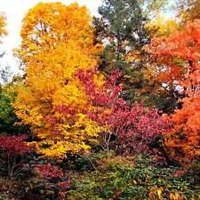 Hamamelis virginiana Herbstblühende Zaubernuss Winterhart bis minus 30-35°C