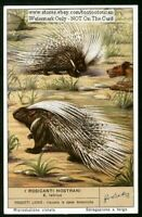 Porcupine Hystrix Cristata  60+ Y/O Trade Ad Card