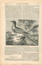 Pigeon Voyageur Colombe Tourte voyageuse /Porte Taillée de Besançon GRAVURE 1834