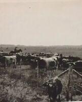 Postcard, RPPC Cowboy, Cattle Alberta Canada Vintage P29
